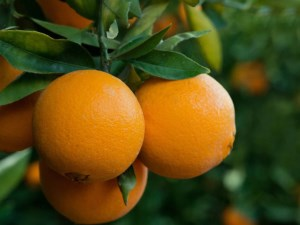 China opens its doors to more Australian citrus article image