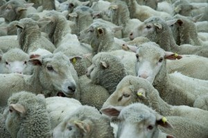Review of live exports likely following sheep deaths at sea article image