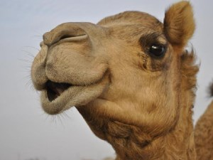 Australia to export thousands of camels to Middle East article image