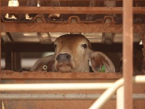 Australian live cattle exports surge to new heights article image
