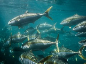 Rapid freeze technology gives edge to Australian kingfish producer article image
