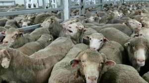 Live export industry faces tough new penalties, including 10-year jail terms article image