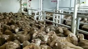Sheep numbers on Middle East-bound ships to be slashed following live export review article image
