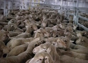 WA government supports decision to suspend livestock shipping company's licence article image