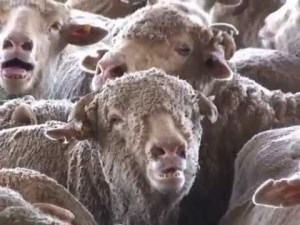 Government suspends licence of biggest live sheep exporter article image