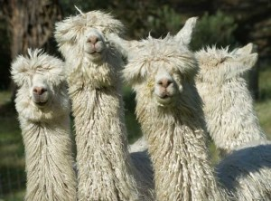 Boom in alpaca fleece exports to China article image